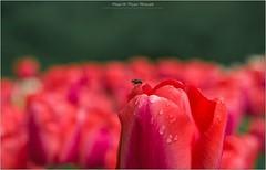 Pb_5001953 (Fernand EECKHOUT) Tags: imagesvoyages photography photos poulbeau19 olympus olympusfrance omd em5 zuiko 50200swd 1260swd leica 25f14 voyages escapade jardin parc keukenhof lisse paysbas europe adobe photoshop lightroom lr6 viveza fleurs flore flowers tulipe mai printemps 2013 flickr flickrelite explorez magicmoments proxy macro excellentphotos nationalgéographic nature couleurs extérieur ngc mouche insecte
