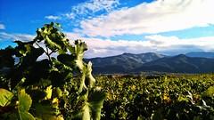 Vignes.... Vinescape.... (Isa****) Tags: vignes vines paysage landscape montagnes mountains 7dwf céret pyrénées