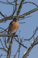 IMG_8744 (rdonaldson54) Tags: carousel bird robin tree sky delaware winter canon 80d 100400 l