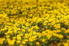 Ein Schlosspark voller Winterlinge (Lilongwe2007) Tags: ahrensburger schloss blumen frühling winterlinge schlosspark wiese pflanzen natur gelb blüten