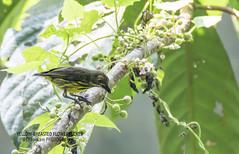 YELLOW-BREASTED FLOWERPECKER (@ChangLam PHOTOGRAPHY) Tags: animal animalia bird aves flowerpecker yellowbreastedflowerpecker changlamphotography hululangant