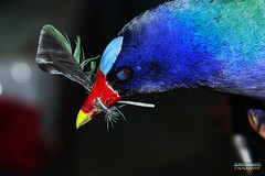 GALLARETA AZUL. PURPLE GALLINULE. PORPHYRIO MARTINICA. GUAYAQUIL - ECUADOR. (ALBERTO CERVANTES PHOTOGRAPHY) Tags: ave guayaquilecuador animal pajaro purplegallinule gallaretaazul retrato photography portrait azul blue gye guayaquil perla pacifico pacific pearl amores guayaquidemisamores perladelpacifico pearlofpacific campo land field countryside camp realm selva forest zoologico zoo vuelo flight flying arbol tree bird jungle ecuador pais country icono iconic guayas ecuadorgye macro bokeh indoor outdoor blur luz light colores colors color brillo bright brightcolors photoborder closeup ground porphyriomartinica martinica porphyrio wildlife faunasilvestre republicadelecuador