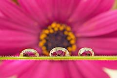 12/52 Primavera redonda (Nathalie Le Bris) Tags: fleur goutte printemps rond flor gota drop rosa pink macro primavera spring 52of2017