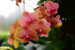 Surf Song Moth Orchid Phalaenopsis (thoth1618) Tags: orchid orchids ny nyc newyork newyorkcity bronx thebronx nybg newyorkbotanicalgarden botanic botanical garden gardens march spring 2017 flower flowers orchidnybg