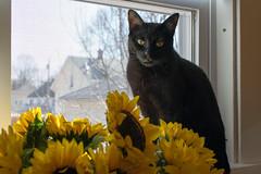 Sunflower Salem (Mark Kosobiecki) Tags: cat black sunflower nikond3300 nikon domestic animal window sidelight