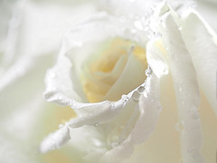 White Rose (Smiffy'37) Tags: roses white macro closeup flowers light
