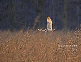 Evening Flight of the Short-eared Owl