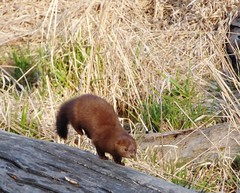 American Mink (Keith Roragen) Tags: nebraska mammal mink neovison vison