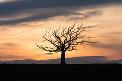 The Medusa Tree at sunset (Katherine Fotheringham) Tags: tree silhouette fife scotland sunset field bird branches