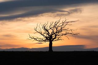 The Medusa Tree at sunset