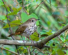 Houston Fla Hermit Thrush Spring 2017 (Jerry's Wild Life) Tags: catharus catharusguttatus florida hermit hermitthrush houston songbird songbirds thrush
