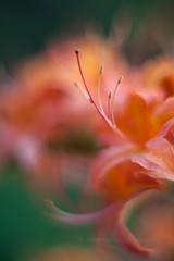 IMG_1560 (mikereidphotography) Tags: flowers abstract flower floral dof bokeh rhododendrons canonphotography zeiss50mmze