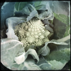 romanesco (courtneyutt) Tags: cauliflower fractal romanesco iphone dearborngarden wetcollodion hipstamatic fakecollodion