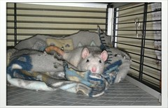 Tyrande take siestas (Scratchblack) Tags: sleeping pet cute animal rodent adorable tired rats husdjur djur rtta siestas gnagare bedrande