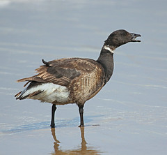I'd rather eat eelgrass (lamoustique) Tags: california brant sanluisobispocounty brentgoose brantabernicla brantgoose