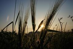 GooD Morning Germany (MomentenKtscher) Tags: flowers sky sun nature natur wiese himmel blumen sonne sonnenaufgang mohn