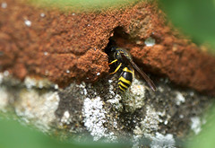 """Hello...... anyone at home?"" (SteveJM2009) Tags: uk light sun colour detail june wall focus wasp hole hampshire stevemaskell mottisfont hants 2013 ancistrocerusnigricornis"