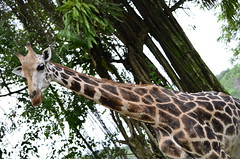 What you looking at! (RushabhSheth) Tags: nature animal zoo singapore long wildlife tall giraffe animalplanet singaporezoo