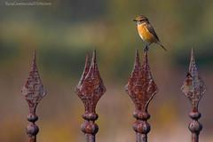 Saxicola torquatus - Heraion (SA) (VeNature) Tags: uccelli