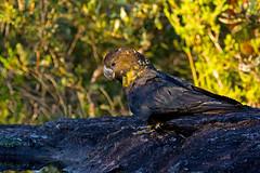 glossy black cockatoo (fem) (neilfif11) Tags: birds sydney australia glossy parrots cockatoos nikonv2 nikon80400afsvrlens
