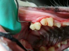 Egan pre and post dental (Rayya The Vet) Tags: dog vet canine dentistry geriatric whippetcross vetsurgery vetdentistry
