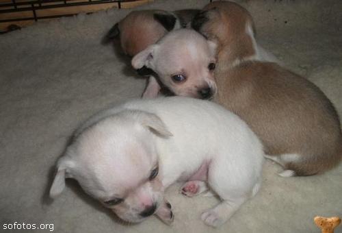 Filhotes de cachorros 61