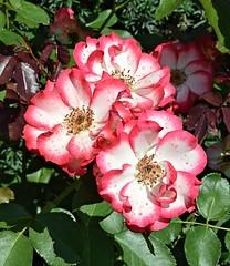 White 'n' Red Triplets (Pat's Pics36) Tags: 3 canada rose three britishcolumbia triplets rosedale mintergardens whiteandred whiteandredflower whiteandredrose nikond7000 nikkor18to200mmvrlens