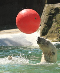 IMG_5793 (sandy richard) Tags: newyorkcity animals bears polarbear bronxzoo zoos animalsplaying sandyrichard sandrarichard