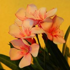Pink gold (Fortunes2011. Haunting Nostalgia) Tags: flowers sunlight flower macro closeup golden naturallight shades bouquet pinkgold magichour pinkflowers nikoncoolpixl120 squaresquareformat5x555nikonconeptualimagesgoogleimagesyahoo