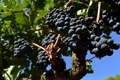 Ram Ull de Llebre, verema, tempranillo, el Pendes, Barcelona. (Angela Llop) Tags: spain via wine eu catalonia vineyards grape penedes vitisvinifera