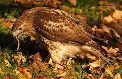 the early bird (morris 811) Tags: red bird nikon raptor nikkor redtailed redtail birdofprey buteojamaicensis redtailhawk 70200mm mtauburncemetery davidmorris d700 tc20eiii davidmorrisphotography