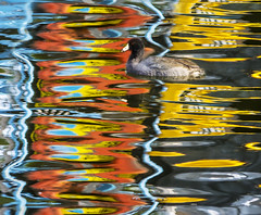 Drab Duck in A World of Color (Bill Gracey) Tags: color reflection swimming duck colorful patterns southerncalifornia waterfowl santee santeelakes abstractcolor