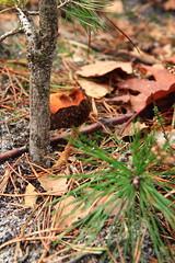 31 oktober 2013, Mushroom tree! (RW-V) Tags: autumn mushrooms herbst herfst pilze apeldoorn paddestoelen champignons canonefs1755mmf28isusm orderbos canoneos60d lautumne