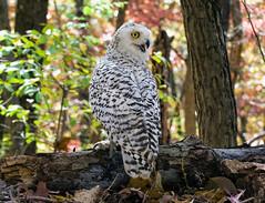 Snowy Owl_DSC1865 (DansPhotoArt) Tags: bird nature fauna nikon wildlife aves raptor owl snowyowl passaros wbs worldbirdsanctuary d7100