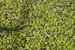 pronte per il frantoio... (costagar51) Tags: italy enna italia sicily piante sicilia catenanuova goldstaraward regionalgeographicsicilia rgsnatura