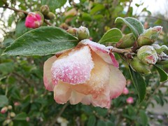 Frost on camellia (Ruth and Dave) Tags: pink flower ice weather vancouver petals bush frost crystals seawall falsecreek buds camellia shrub winterflowering weatherphotography sutcliffepark