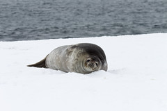 Antarctica - Day One0052 (GLRPhotography) Tags: moon island antarctica seal half weddell 100400