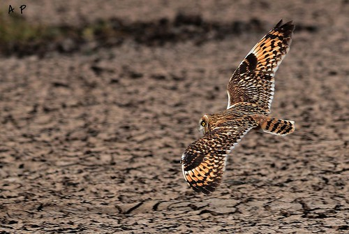 SHORT EARD OWL flight