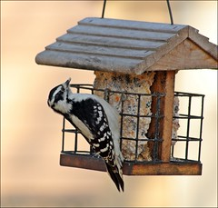 Been A Few Weeks Without Sun But It's Cold Feels Like 14/-10 (Sue90ca Falling Behind. More Off Than On Lately) Tags: cold canon woodpecker very feeder shade 70300mm 60d frozensuet