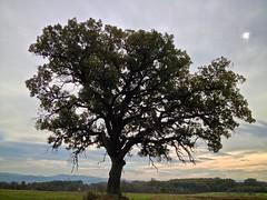 Hrast / Oak