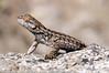 Uta stansburiana - lézard à flancs maculés - common side-blotched lizard-2.jpg