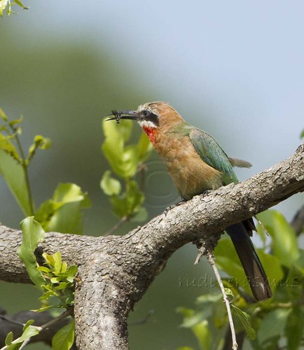 White-fronted Bee-eater with bee_9802