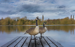 Canada Geese (dave:w:) Tags: two lake landscape geese couple jetty sony feathers goose f28 hertfordshire canadagoose rickmansworth aquadrome explored a7r