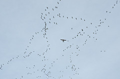 bird and flight (SusanCK) Tags: geese snowgeese skagitvalleywashington susancksphoto