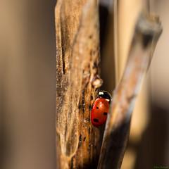 Coccinella septempunctata (Kitschi_) Tags: macro spring nikon sigma os ladybird ladybug frhling marienkfer 2014 150mm coccinellaseptempunctata hsm siebenpunktmarienkfer d7100