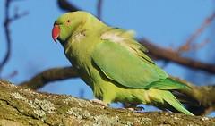 Ring Necked Parakeet (paulinuk99999 (I'm back!!)) Tags: park ring parakeet bushy necked paulinuk99999 sal70400g