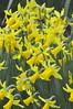 spring_0052 (Peter-Williams) Tags: uk flowers garden sussex brighton crocus tulip daffodils carmelia paviliongardens oark