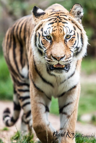 "Tigre • <a style=""font-size:0.8em;"" href=""http://www.flickr.com/photos/42154737@N07/12788086783/"" target=""_blank"">View on Flickr</a>"