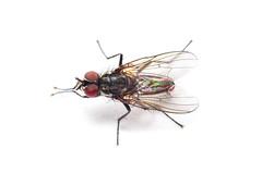 Cabbage Root Fly -  (ajblake05) Tags: canada macro male britishcolumbia insects whitebackground flies burnaby northamerica simonfraseruniversity diptera lowermainland greatervancouver hexapoda anthomyiidae cabbagerootfly deliaradicum rootmaggot