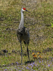 someday I will be as big as you (B A Bowen Photography) Tags: county crane chicks sandhill pasco floridanaturephotography babowenphotography floridawildlifephotography